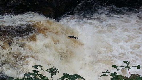 salmon shin falls
